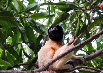 Festival Indri-Indri 2019 : La conservation des lémuriens à l'honneur !