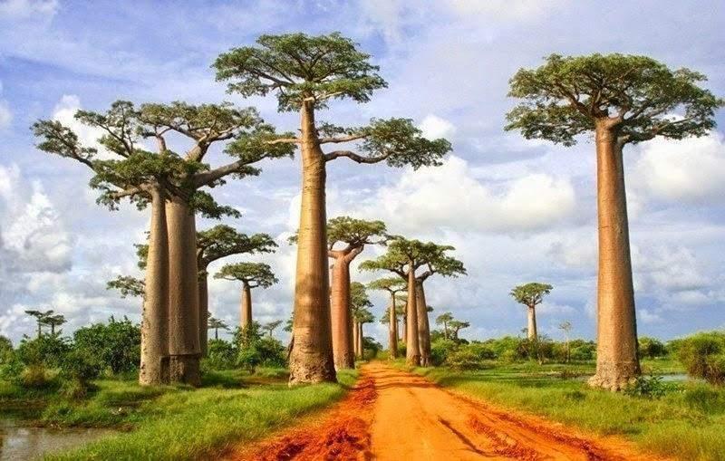 You are currently viewing Madagascar : Morondava accueille le Festival des Baobabs-fosa