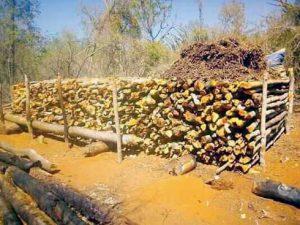 Des centaines d'arbres ont été abattus dans le parc.