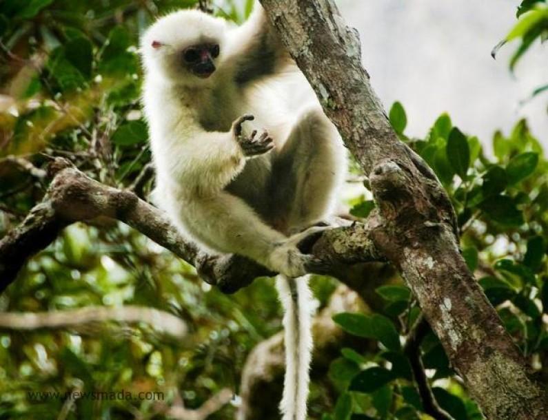 Fête des lémuriens: le propithèque soyeux à l'honneur
