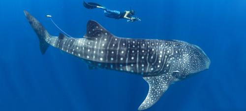 Les requins-baleines de Madagascar : un nouvel espoir pour l'espèce ?