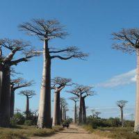 assurer-la-gestion-durable-des-baobabs-a-madagascar_lightbox